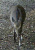 小さな鹿です。来ちゃったの。