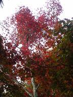 四宮神社付近の紅葉2