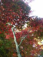四宮神社付近の紅葉3