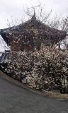あっ桜が咲いてる