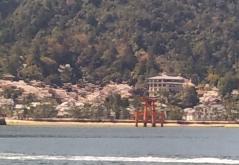 桜が満開の宮島
