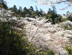多宝塔のまわりは桜