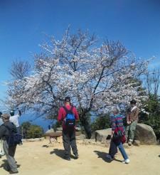 頂上の桜2