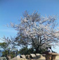 頂上の桜3