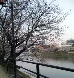 川添いの桜です