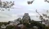 桜が満開の姫路城です