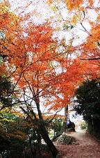紅葉のじゅうたんができています