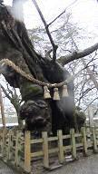 大きなくすの木