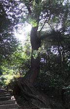 すごい生命力の木