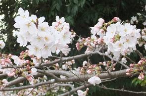 咲きはじめた桜