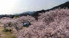 まるでピンクの雲のような桜です