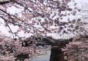桜に埋もれた錦帯橋