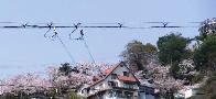 桜の山を振り返り見てみました