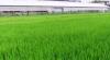 稲の生育は?