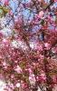 カイドウの花