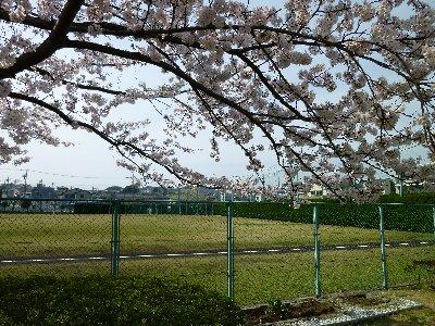 衣笠公園の桜
