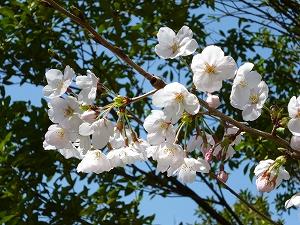 鶴舞公園の桜(2011.4.1)
