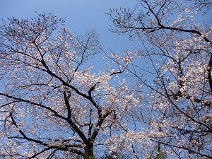 鶴舞公園(2011.4.1)