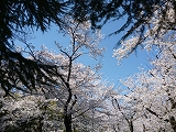 鶴舞公園(20011.4.5)