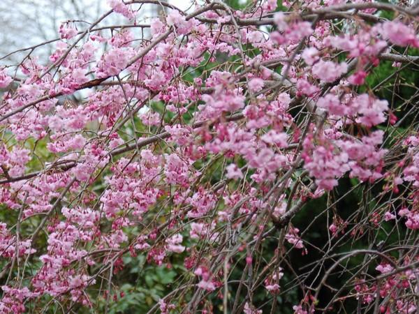 桜さきました。