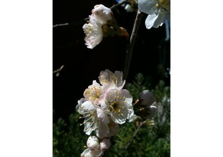 サクランボ花咲く