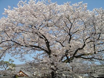 本隆寺の桜