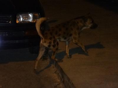 ハイエナ風の犬