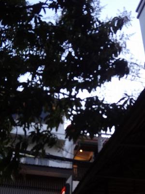 カフェにあるマンゴーの木