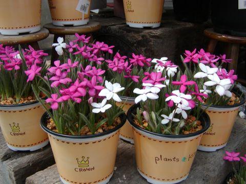 アッツ桜3色植え