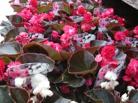 八重咲きベコニア ダブレット