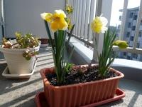 2008/03/29 水仙咲いた。