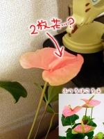 2008/08/08 アンスリウムの二枚花