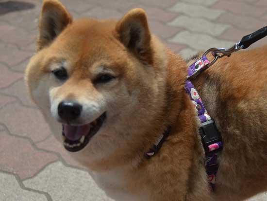 柴犬チャチャ