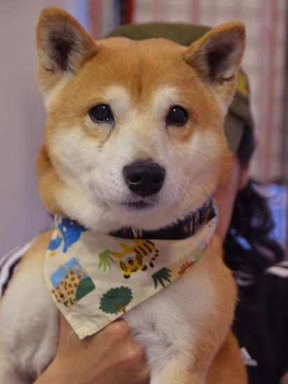 柴犬カムカム