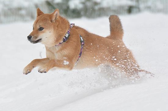 雪の中の柴犬シメジ