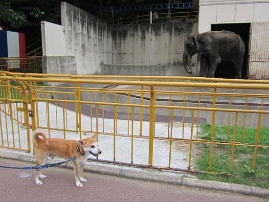 柴犬 ばろん 2
