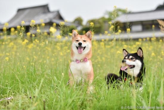 柴犬と橘寺