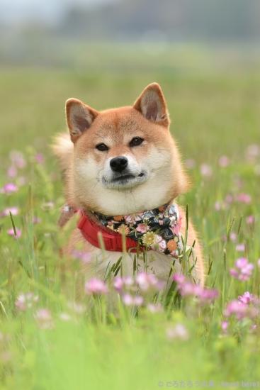 柴犬とレンゲ草