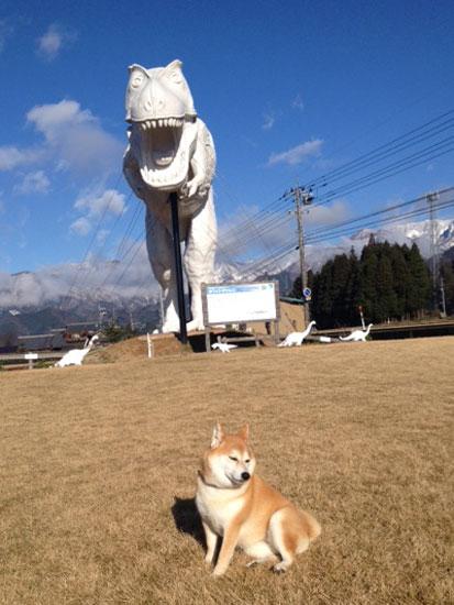 柴犬 ぷく 6
