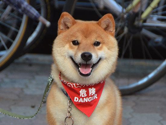 柴犬の危険バンダナ