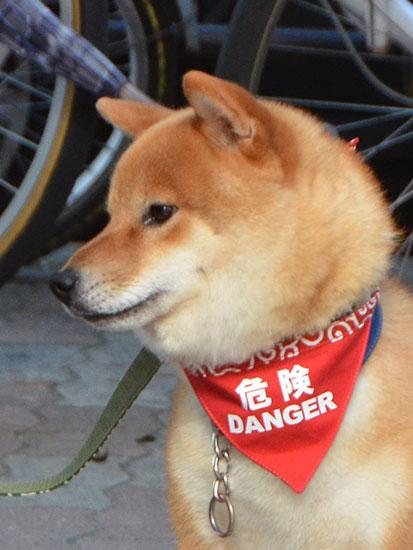 唐草模様の柴犬