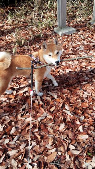 柴犬 まる 4