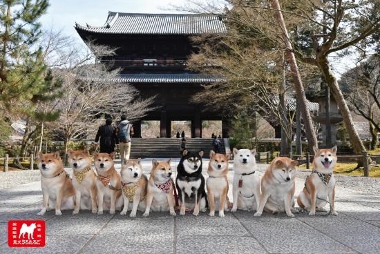 柴犬ポストカード南禅寺