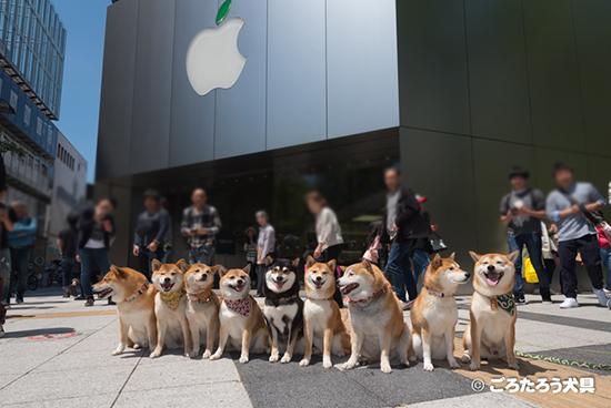 アップルストア前の柴犬達