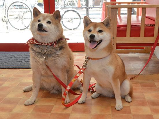 柴犬太郎とトキ