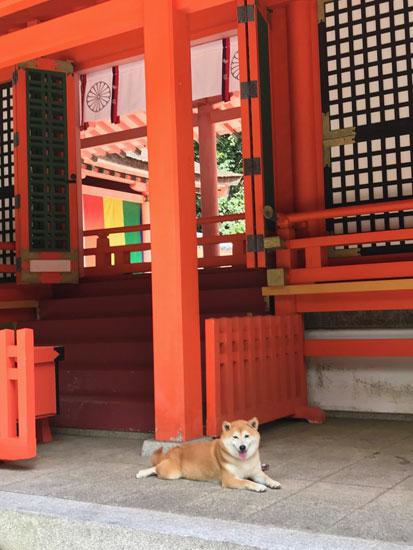柴犬 ぷく 4