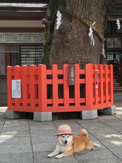 柴犬 ぷく 2