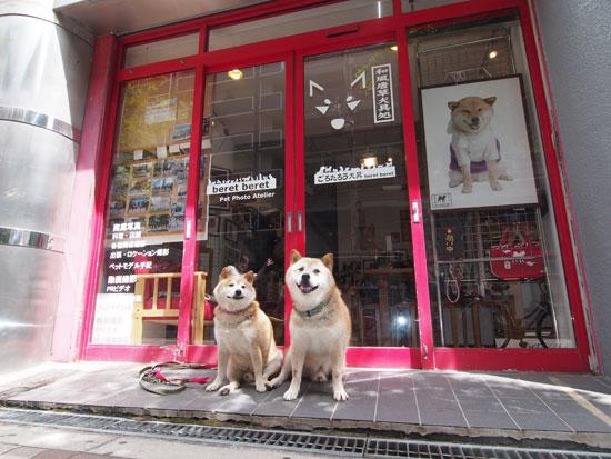 Shiba Dog GORO and TARO