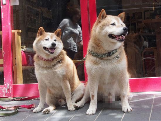 看板犬 ゴロと太郎