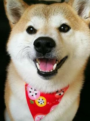 柴犬ホタル